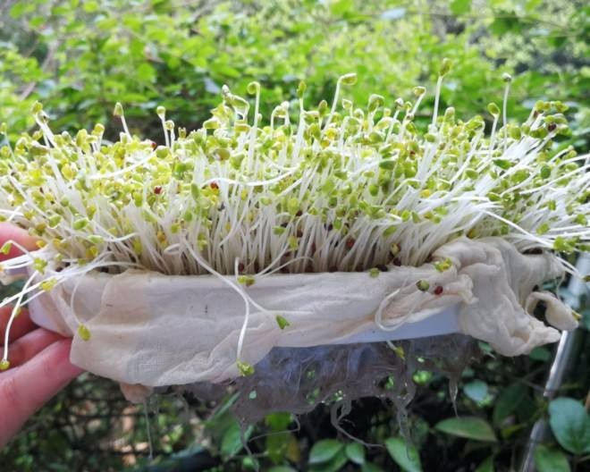 Chemical In Broccoli Sprouts May Treat >> 用微信扫一扫